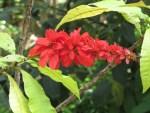 Wild poinsettia / ショウジョウトラノオ