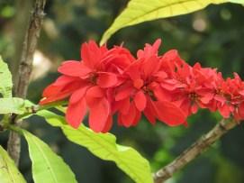 ショウジョウトラノオ 花のアップ
