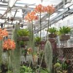 エピデンドラム Epidendrum Kashyoku Saisai 花の姿