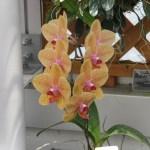 コチョウラン 薄オレンジ色の花Phalaenopsis Tsuei You Beauty Matou