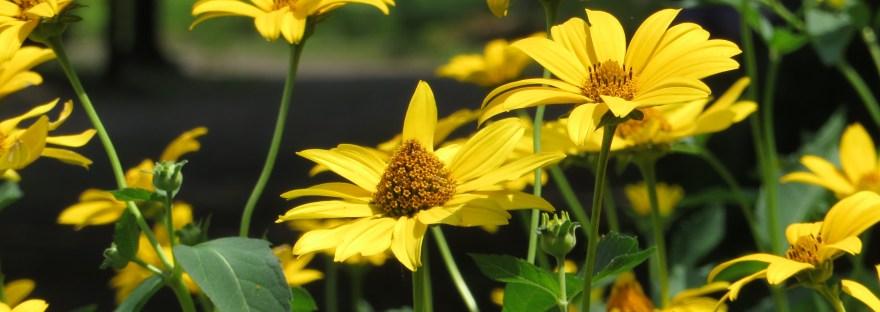 Orange sunflower/ キクイモモドキ