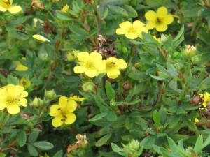 キンロバイ 花の姿