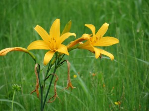 ゼンテイカ ニッコウキスゲの花のアップ