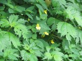キツリフネ 花の様子