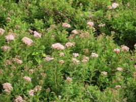 シモツケ チヂミバシモツケの花