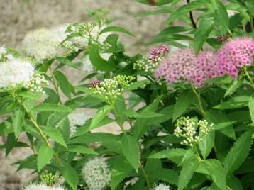 シモツケ ゲンペイシモツケの紅白の花