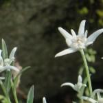 Edelweiss / エーデルワイス