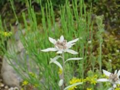 レブンウスユキソウ 花のアップ