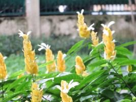 ウコンサンゴバナ 花の姿