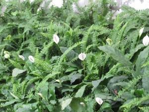 スパシフィラム 花の様子