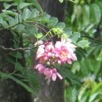 ジャワセンナ 花の様子