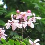 ジャワセンナ 花のアップ