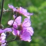 オオバナサルスベリ 花のアップ