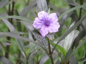 ヤナギバルエラソウ 花のアップ