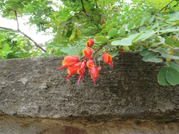 Caesalpinia/ ジャケツイバラ属