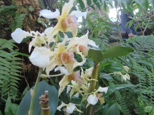 デンドロビウム Dendrobium Nellie slade