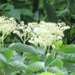 Large-Leaf Dogwood/ クマノミズキ