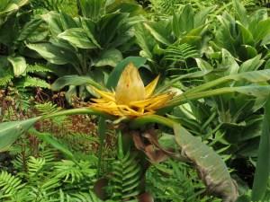 チユウキンレン 花の様子