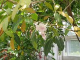 モモイロノウゼンカズラ 花の姿