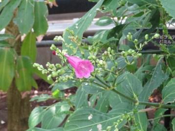 ストロビランテス・ハミルトニアナ 花の姿