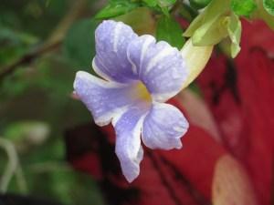 コダチヤハズカズラ 珍しい色の花のアップ