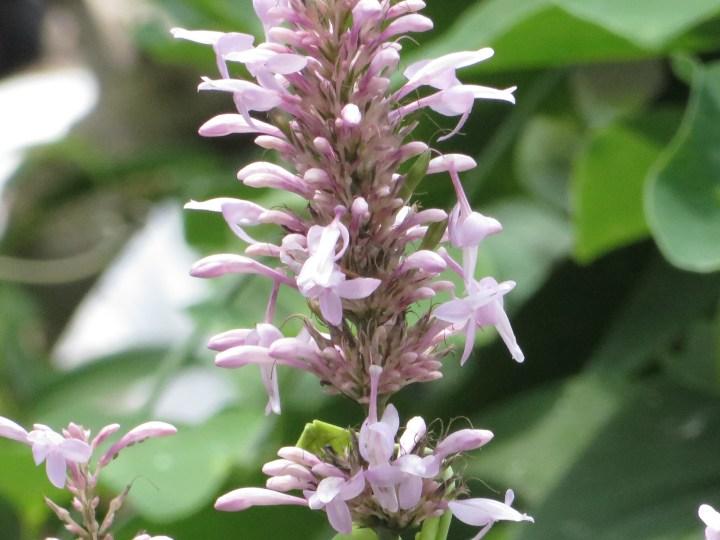 オドントネマ カリスタキウム 花のアップ