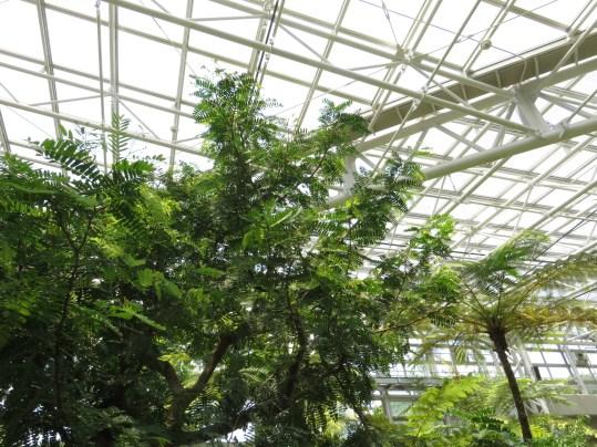 タマリンド 木の様子