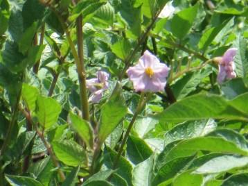 ジャガイモ 薄紫の花