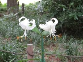 カノコユリ 花の姿(白花)