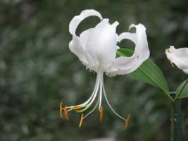 カノコユリ 花のアップ(白花)