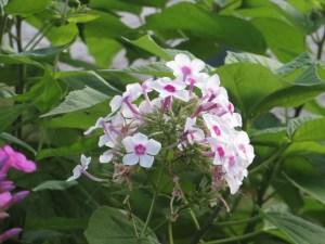 キキョウナデシコ 花の姿
