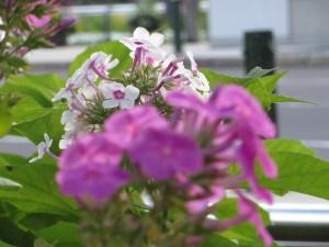 キキョウナデシコ 紅白の花の姿