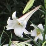 タカサゴユリ 花のアップ