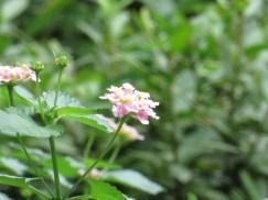 ランタナ 花の様子