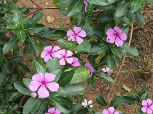 ニチニチソウ 花の姿