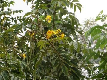 コガネノウゼン 花の様子