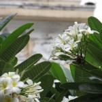 プルメリア (白系) 花の様子