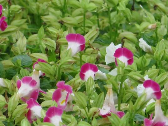 ハナウリクサ ピンク色 花の様子