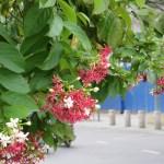 シクンシ 花の様子