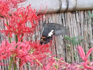 ヒガンバナ 花とクロアゲハ