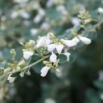 ハギ(ミヤギノハギ) 白萩の花の様子