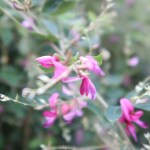 ハギ(ミヤギノハギ) 花の様子