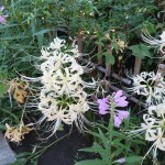 ヒガンバナ 白花とハナトラノオ