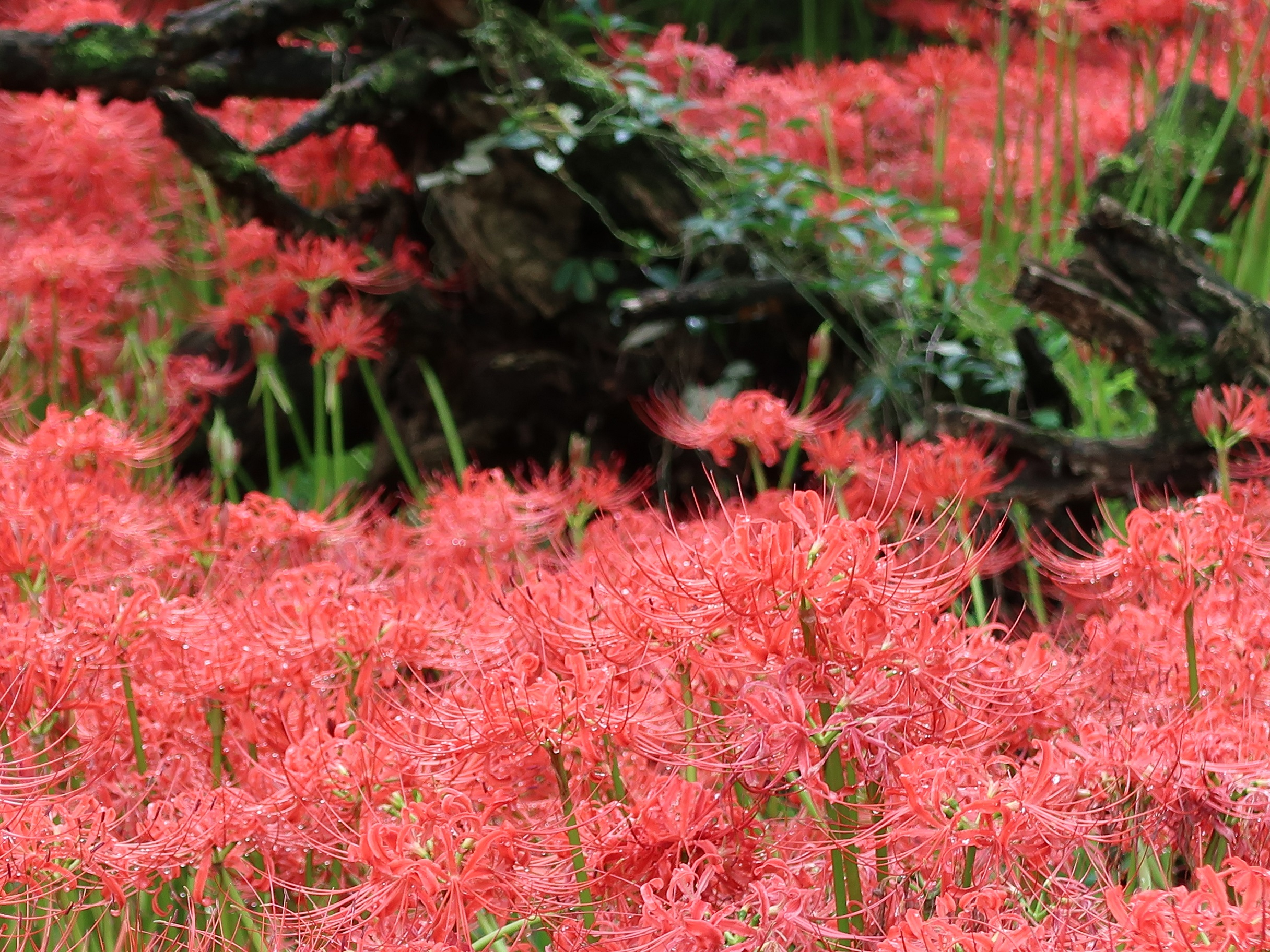 ヒガンバナ 花の姿