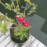 アデニウム 花の咲いている植物の様子