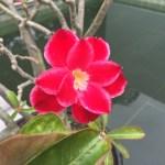 アデニウム 花の様子