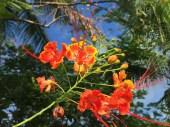 オオゴチョウ 花のアップ