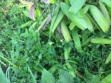 コトブキギク 植物の様子