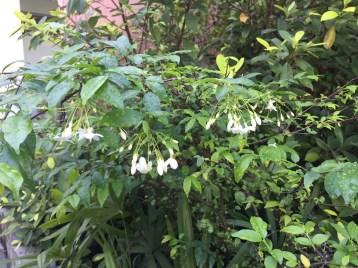 オマツリライトノキ 花の咲いている木の様子