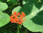 Australian bottle plant  / サンゴアブラギリ